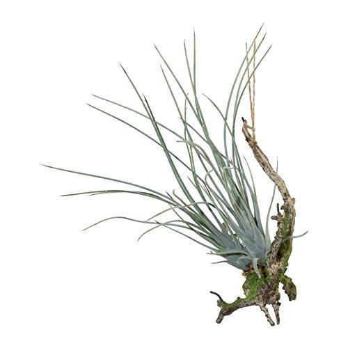 Hängepflanze Tillandsie mit Wurzel Hängepflanze Kunstpflanze 1018061-00 F58