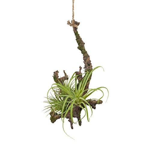 Hängepflanze Tillandsie mit Wurzel Hängepflanze Kunstpflanze 1118010-00 F58