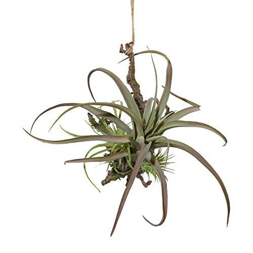 Hängepflanze Tillandsie mit Wurzel Hängepflanze Kunstpflanze 1118012-00 F57